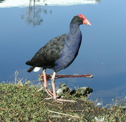 african animals of purple swamp hens photos